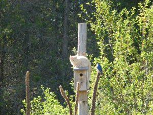 When we sat down to enjoy a cup of tea in our revitalized Adirondack chairs our kitten was over extending his welcome on the bird's home.  You can see the stare down occurring.  This is the first time this bird house had a nest and probably the last after this season.